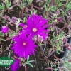 Lampranthus productus - Purple Productus Iceplant