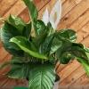 Spathiphyllum wallisi