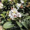 Click Dwarf Yedda Hawthorn to view the product.