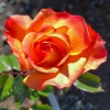 Rose Rainbow Sorbet