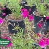 Salvia greggii 'Purple'