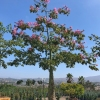 Silk Floss Tree Chorisia speciosa
