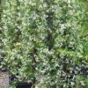 Click Star Jasmine  to view the product.