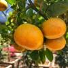 tango mandarin