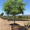 Tipuana tipu tree