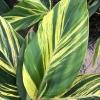 Var Shell Ginger Alpinia zerumbet