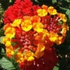 Lantana Patriot Red