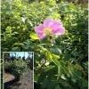 rosa californica 2