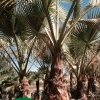 washingtonia filfera