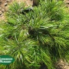 Acacia subporosa