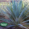 Agave tequilana - Tequila Agave, Blue Agave