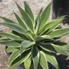 Click Fox Tail Agave  to view the product.