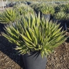 Click AGAVE LEOPOLDII to view the product.