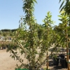 Almond prunus dulcis 'All-in-One'