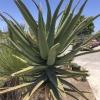 Aloe rupestris Bottlebrush