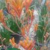 Click Orange Cross Kangaroo Paw to view the product.