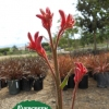 Anigozanthos 'Bush Devil'