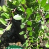 Arctostaphylos uva-ursi 'Green Supreme'