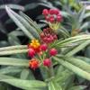 Silky Red Milkweed