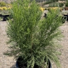 Click Desert Broom to view the product.