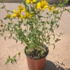 Click San Diego Sunflower, Tornleaf Goldeneye to view the product.