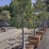 Bottle Tree Brachychiton populneus