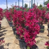 Click Barbara Karst Bougainvillea to view the product.