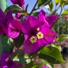Click Purple Queen Bougainvillea to view the product.
