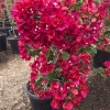 Click San Diego Red Bougainvillea to view the product.