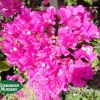 Bougainvillea 'Monas' (Texas Dawn)