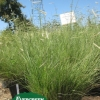 Bouteloua gracilis 'Blonde Ambition'