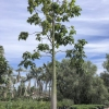 Click Queensland Lacebark to view the product.