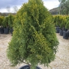 Thuja Aurea Nana Dwarf Golden Arborvitae