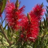 Click Scarlet Flame Bottlebrush to view the product.