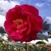 Camellia Mathotiana Supreme