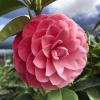 Camellia Mrs. Tingley