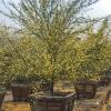 Cercidium 'Desert Museum'