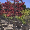 Click Forest Pansy Eastern Redbud to view the product.