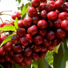 Click Lapins Cherry to view the product.
