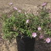 Cistus skanbergii Pink Rockrose
