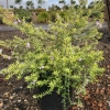 Coast Rosemary Westringia Wynyabbie Gem