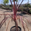 Click Electric Pink Cordyline to view the product.
