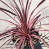 Palm: Salsa Cordyline