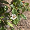 Click Bearberry Cotoneaster to view the product.