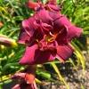 Hemerocallis Purple Daylily