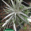 Dyckia 'Nickle Silver'