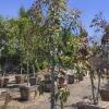 Eucalyptus ficifolia Red Flowering Gum