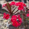 Euphorbia milii Jerry's Choice