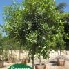 Ficus retusa nitida 'Green Gem'