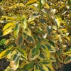 Gilt Edge Silverberry Elaeagnus ebbingei